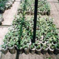 Nursery Plant