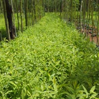 SANDAL WOOD PLANTS NURSERY GARDEN