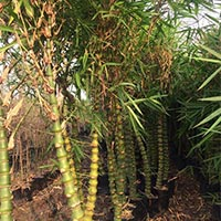 Buddha Belly Bamboo Plants
