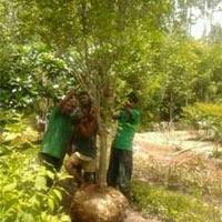Ficus Benjamina Plants