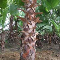 Washingtonia Palm Plants