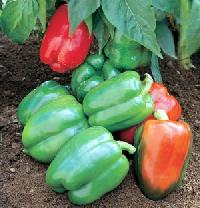 Organic Bell Peppers