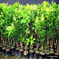 Jamun Nursery Plant