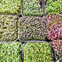 Native Organic Green Seeds