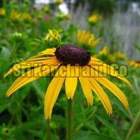 Fresh Yellow Daisy Flower
