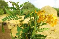 Cassia Auriculata Flower