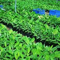 Hardened Tissue Culture Raised Plants