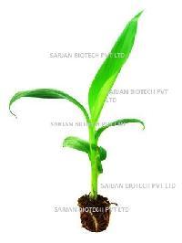 Tissue Culture Raised Banana Plants