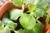 Herbal Plant
