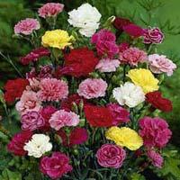 Fresh Carnation Flower
