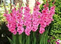 Gladious Flower Bulb