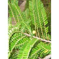 Phyllanthus Emblica