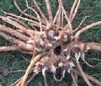 Medicinal Roots