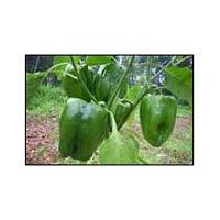 Hybrid Capsicum Seeds