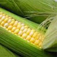 Sweet Corn Seeds For Farming