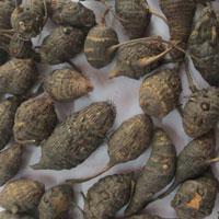 Dried Cyperus Rotundus