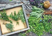 Annotti Culinary Herb