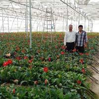 Gerbera Plants