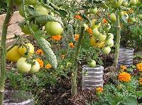 Vegetable Plant