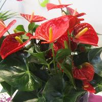 Anthurium Flower