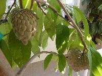 Exotic Fruit Plants