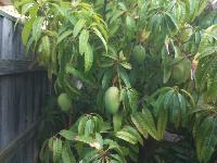 Grafted Mango Plant