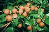 Hybrid Sapota Plant