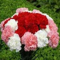 Fresh Carnation Flower