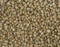 Bajra Seed