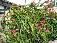 Red Dragon Fruit Plants