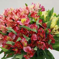 Fresh Alstroemeria Cut Flower
