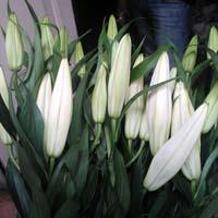 Fresh Oriental Lily Cut Flower