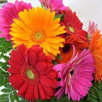 Fresh Gerbera Cut Flower