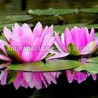 Fresh Lotus Flowers