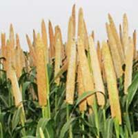 Panchganga Seeds