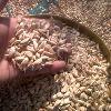 Cedrus Deodara Seed