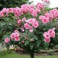 Indian Rose Plants