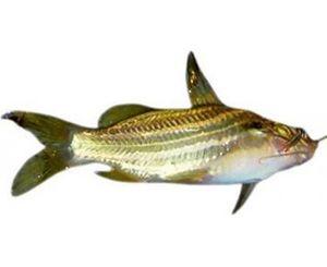 Tengra Fish