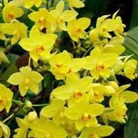 Spathoglottis Plant