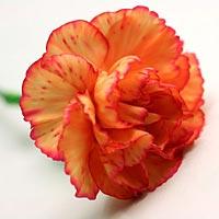 Carnations Flower