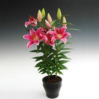 Lilium Plant