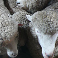 Sheepskins