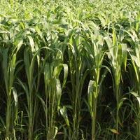 Sudan Grass