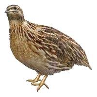 Live Bird
