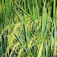 Basmati Seeds
