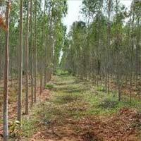 Eucalyptus Clone Plants Eucalyptus Clone Plants