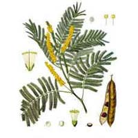 Acacia Catechu Powder
