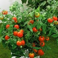 Hybrid Plant