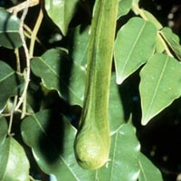 Balsam Peru