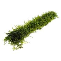 Moss Sticks
